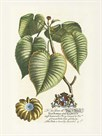 The Duke Of Dorset Botanical by Georg Ehret