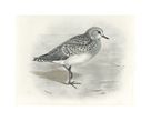 Gray Plover by Lilian Medland