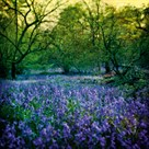 Bluebell Wood I by Pete Kelly