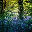 Bluebell Wood II by Pete Kelly