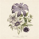 Clematis by 19th Century English School