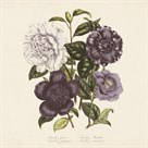 Camellia Japonica by 19th Century English School