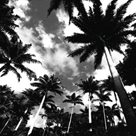 Towering Palms by Malcolm Sanders