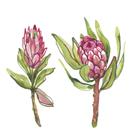 Protea Pair by Sandra Jacobs