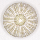 Sea Urchin - Ivory by Ben Wood