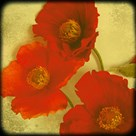 Fresh Poppies II by Rossana Novella