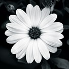 Daisy Light I by Joseph Eta