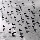 Escher's Seagulls by Michael Kahn
