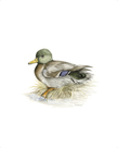 Mallard (Male) by C.T.N. Ackland