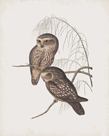 Athene Maculata by John Gould