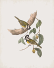 Falcunculus Leucogaster by John Gould
