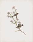 Gerygone Culicivorus by John Gould