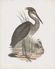 Ardea Rectirostris by John Gould