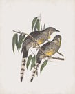 Anthochaera Inauris by John Gould