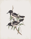 Cracticus Picatus by John Gould