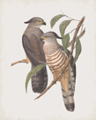 Lepidogenys Subcristatus by John Gould