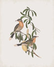 Acanthagenys Rufogularis by John Gould