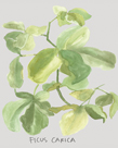 Ficus Carica by Katrien Soeffers