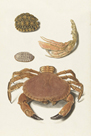 A Crab and Two Turtle Shells by The Vintage Collection