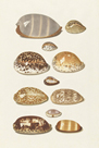 Eleven Tropical Cowry Shells by The Vintage Collection