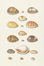 Seventeen Cowry Shells by The Vintage Collection