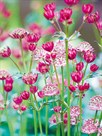 Astrantia Meadow by Ella Lancaster