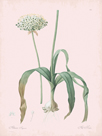 Allium Nigrum - Rose by Pierre Joseph Redoute
