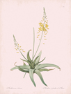 Anthericum Alooides - Rose by Pierre Joseph Redoute
