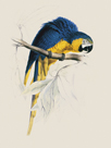 Blue and Yellow Maccaw by Edward Lear