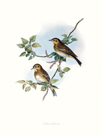 Wood pipit by John Gould