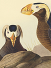 Tufted Auk - Focus by James Audubon