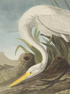 White Heron - Focus by James Audubon