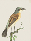 Red Backed Shrike by The Drammis Collection
