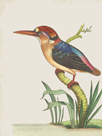 Red Headed Kingfisher by The Drammis Collection