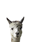 Amicable Alpaca by Assaf Frank