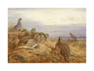 English Partridges by Archibald Thorburn