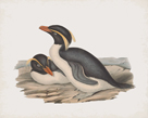 Eudyptes Chrysocome by John Gould