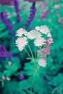 Astrantia Drift by Ella Lancaster
