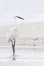 Beach Egret by Wink Gaines