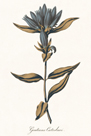 Gentiana Catesbaci - Golden by A. Poiteau
