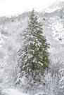 Snow Conifer by Chris Dunker