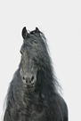 Friesian Portrait by Irene Suchocki