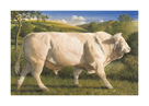 Charolais Bull by James Lynch