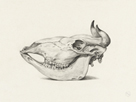 Skull Of A Cow, Seen From The Side by Jean Bernard