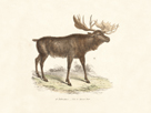 Elk Study by 19th Century English School