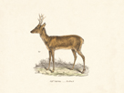 Roebuck Study by 19th Century English School
