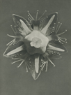 Parnassia palustris by Karl Blossfeldt