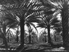 Date Palms, Coachella Valley, California by Dorothea Lange