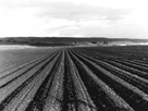 Pea Fields Near San Juan Bautista, California by Dorothea Lange