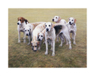 Seven V.W.H. Foxhounds by Gary Stinton